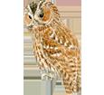 Tawny Owl image