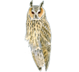 Long-eared Owl image