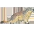 Marmot image