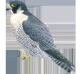 Peregrine Falcon image